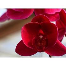 Kit 100sementes Raras Exótica De Orquídeas Vermelhas P/muda