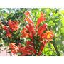Trompeta De Fuego, Tecomaria, Plantas Trepadoras, Vivero