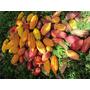Amêndoa Cacau S/ Agrotóxicos Secas P/ Chocolate - 1kg