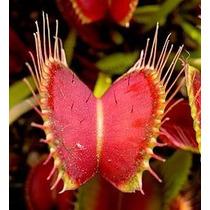 Plantas Carnivoras Venus Morón Atrapa Moscas Dionaea Julypet