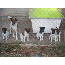 Fox Terrier Smooth--pelo Corto--macho-desp.y Vac.45 Dias