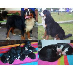 Cachorros Boyero De Berna Con Papeles Fca