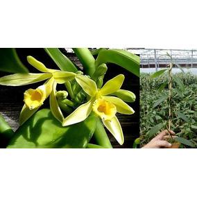 Muda De Orquídea Baunilha 20cm Verdadeira Trepadeira