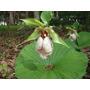 Orquideas Nacionales E Importadas Cypripedium Japonicum