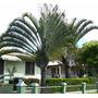 Lote Palmeira Triangular Com 300 Mudas - Cerca De 1,2 Metro