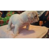 Bulldog Ingles Cachorros Linea Americana Con Pedigree Azul