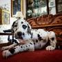 Cachorros Gran Danés Arlequin
