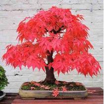 Red Maple Tree - Acer Palmatum 10 Sementes