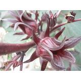 100 Semillas De Jamaica - Hibiscus Sabdariffa Codigo 320