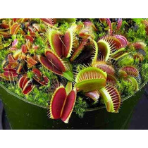 10 Sementes Planta Carnivora Dionaea Muscipula Frete Gratis