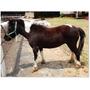 Yegua Miniatura Pinta - Caballito Mini Pony