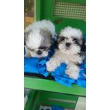 Hermosos Shitzus Shitzu Tricolor Blanco Negro Mini Cachorros