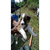 Pastor Collie Cachorros Lassie Vendo Venta Pelo Liso Puros