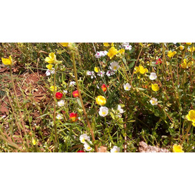 Flores/plantas/jardins/mudas De Onze-horas*