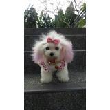 Hermosos Poodle Micro Toy 2 Meses