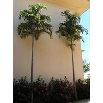 Palmeira Carpentaria - Mudas De 0,80 Cm A 1 Mt