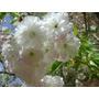 Cerezo Japones Flor Blanca, (sakura), ( Prunus Serrulata)