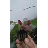 Echinodorus Red Special Plantas Acuáticas Peces Acuario