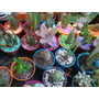 Cactus Y Suculentas Maceta N 8. Gran Variedad $27