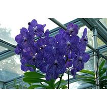 Orquídea Azul Exótica Vanda Blue Adulta Já Floresce