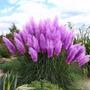 Semilla Cortaderia Selloana Purpura Flores Raras 20 Semillas