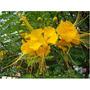 10 Sementes Flamboyant Mini Mirim Bonsai Jardins + Frete Gr