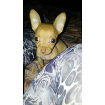 Cachorrito Chihuahua Mini