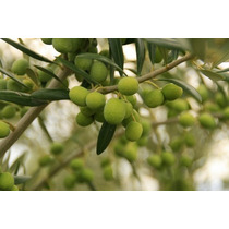 Olivo ( Árbol ) , Hoja Blanca , Aceituna Negra