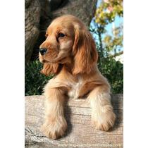 Lindos Filhotes De Cocker Spaniel Ingles, Só Com A Pet Store