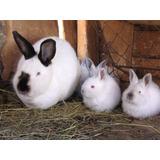 Criadero De Conejos Gazapos Mascotas Regalos