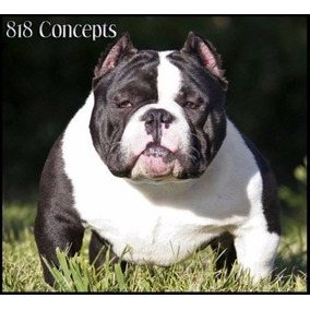 American Bully Cemental Ukc