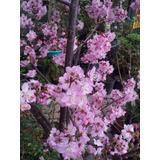 Cerezo Japones Cherry Blossom Prunus Serrulata 3 Metros