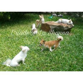 Chihuahuas Pelo Largo Pedigree F.c.a. Criadero La Shanna