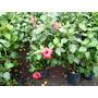 Planta Hibiscus Rosa China En 10 Litros Grandes!!!