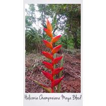 Heliconia Champneiana Maya Blood Rizoma