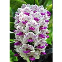 20 Sementes De Lindas Orquídeas Cymbidium Cacho Várias Cores