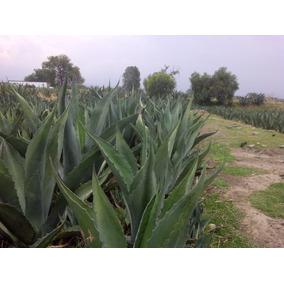 Planta De Maguey Pulquero (ayoteco) Y Pencas Para Barbacoa