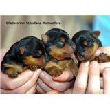 Rottweilers Linea Alemana-exelentes Cachorros