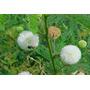 Sementes De Leucena Leucaena Forragem Criação Animal