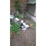 Cachorros Bullterrier Ingles 2 Meses Un Macho Y 3 Hembras