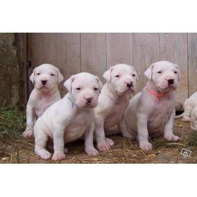 Dogo Argentino , Cachorros De Primera Linea !!
