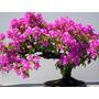 Bugambilia 60cm Elige Tamaño Deseado Jardín Arbol Decoración