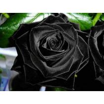 Sementes De Rosa Black, Negra, Preta, Rara E Exótica