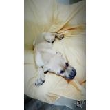 Cachorros Fila Brasilero ¿ Apurate Y Llevate El Tuyo Solo 2