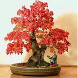 50 Sementes Raras Acer Maple Rubrum Planta Bonsai Jardins