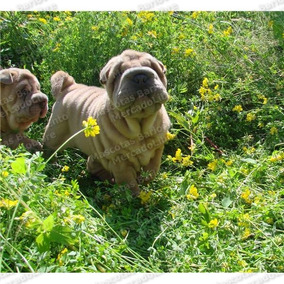 Gran Oferta Cachorros Sharpei Chino Arrugados Hipopotamo Fcm