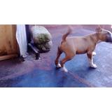 Cachorro Bull Terrier Ingles 3 Meses