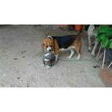 Cachorros Chihuahua Mini Toy Y Cabeza De Manzana Y Beaglee