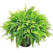 Helecho Peine ( Planta ) , 70 Cm Semisombra