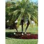 Mudas Palmeira Fênix ( 15 A 40cm )